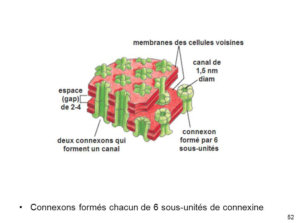 Connexons formés chacun de 6 sous-unités de connexine