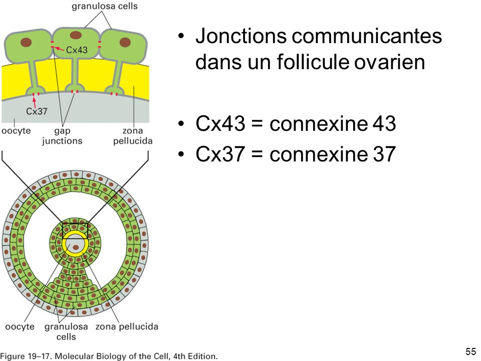 Fig 19-17 Jonctions communicantes dans un follicule ovarien