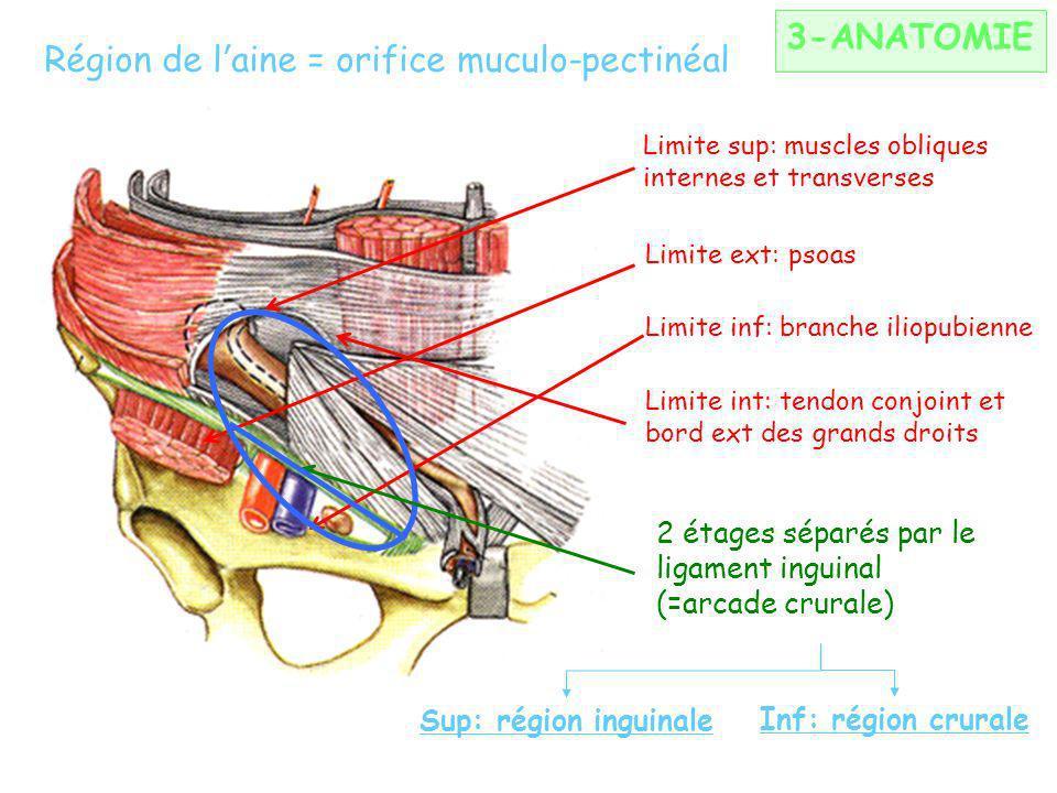 Région de l'aine = orifice muculo-pectinéal