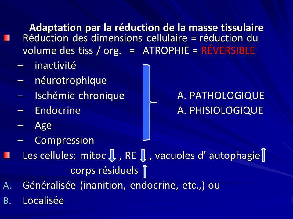 Adaptation par la réduction de la masse tissulaire