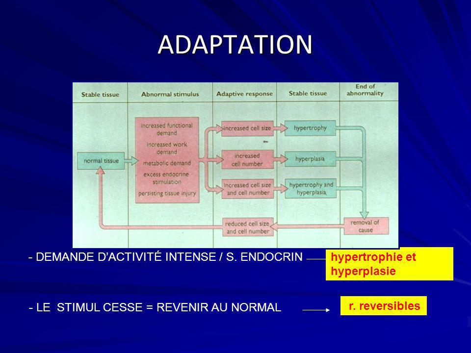 ADAPTATION - DEMANDE D'ACTIVITÉ INTENSE / S. ENDOCRIN