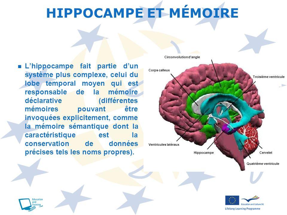 HIPPOCAMPE ET MÉMOIRE Circonvolution d'angle.