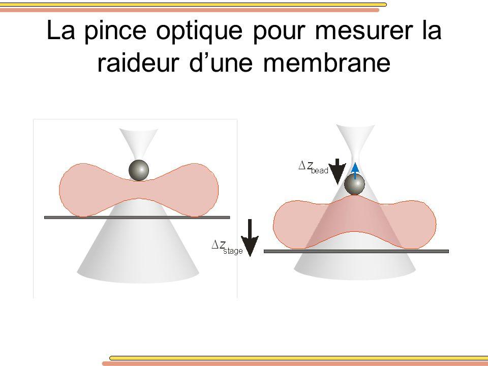 La pince optique pour mesurer la raideur d'une membrane