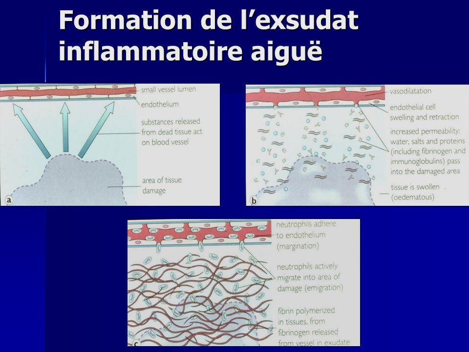 Formation de l'exsudat inflammatoire aiguë