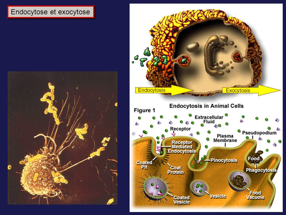 Endocytose et exocytose
