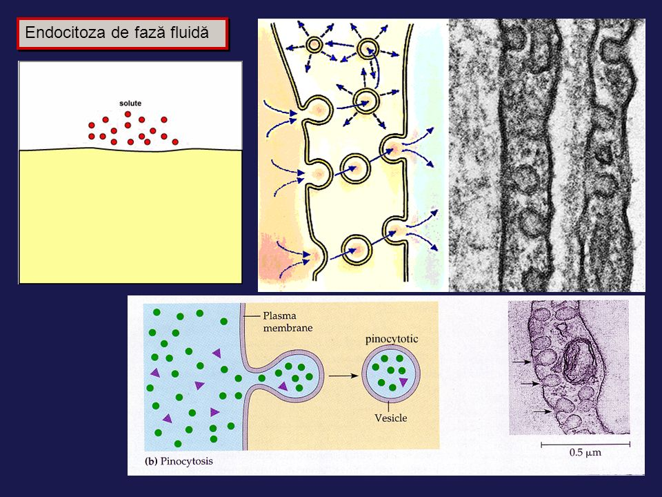 Endocitoza de fază fluidă