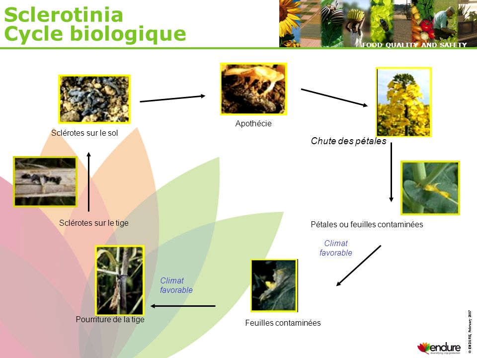 Sclerotinia Cycle biologique