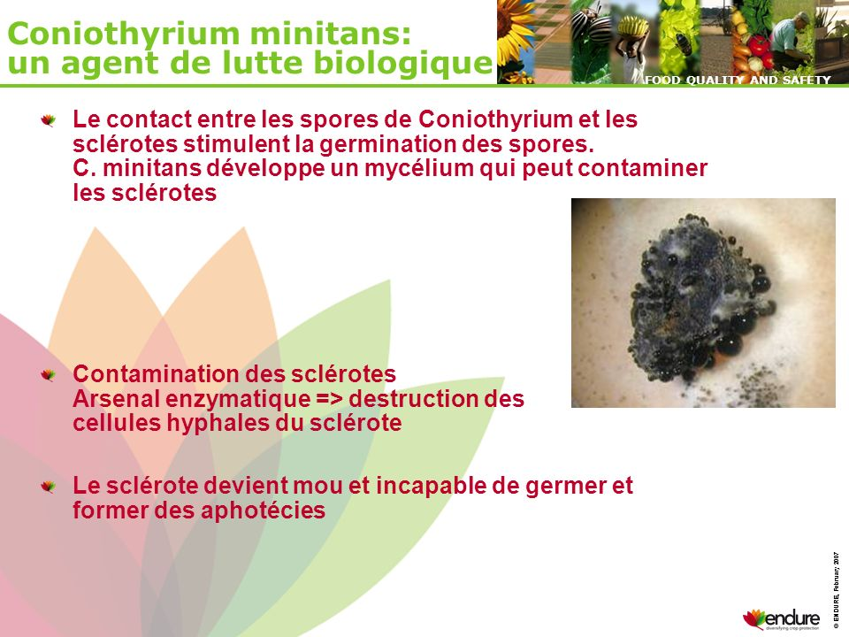 Coniothyrium minitans: un agent de lutte biologique