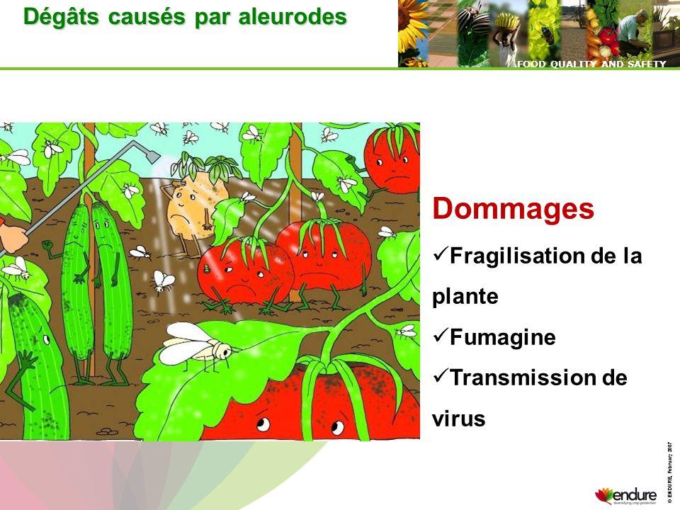 Dommages Dégâts causés par aleurodes Fragilisation de la plante