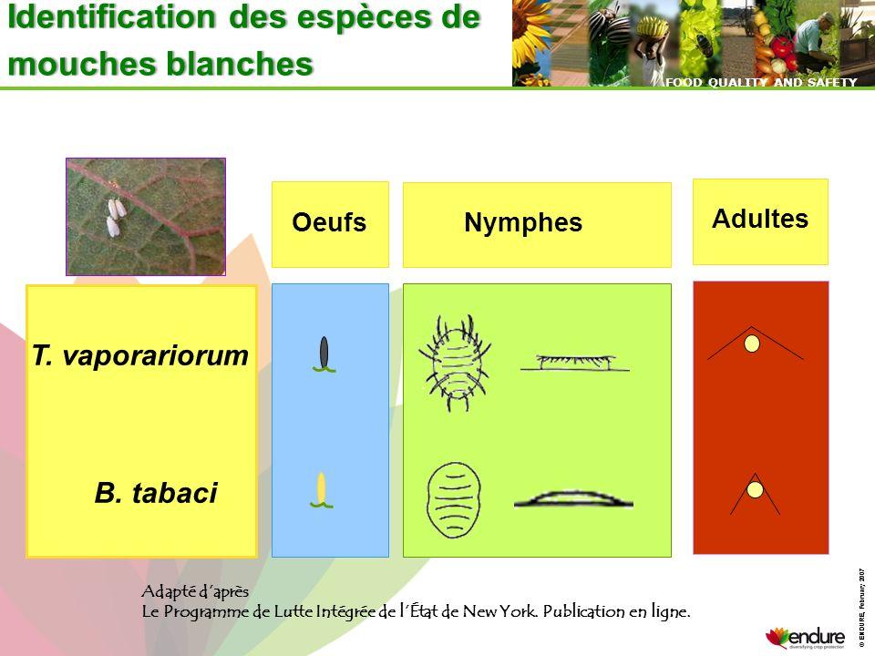 Identification des espèces de mouches blanches