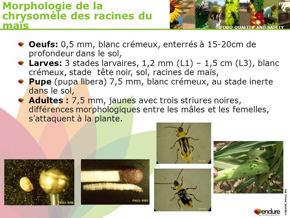 Morphologie de la chrysomèle des racines du maïs