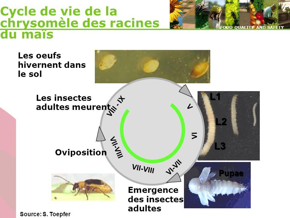 Cycle de vie de la chrysomèle des racines du maïs