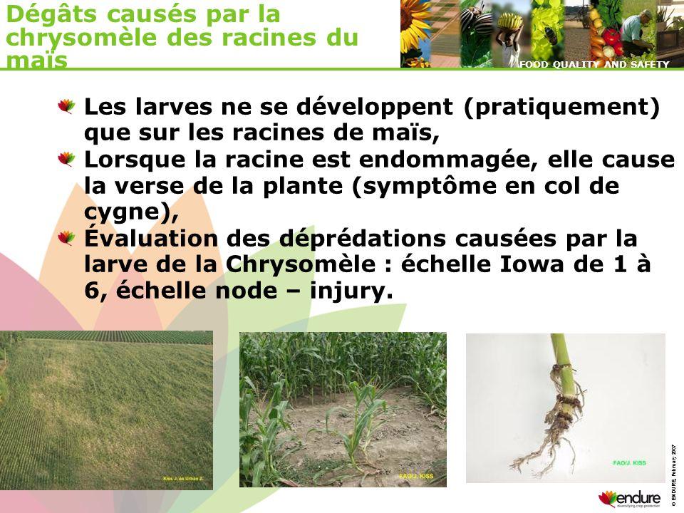 Dégâts causés par la chrysomèle des racines du maïs