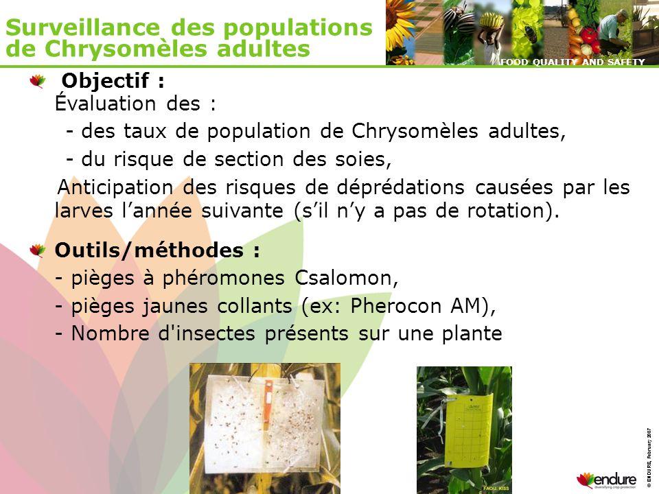 Surveillance des populations de Chrysomèles adultes