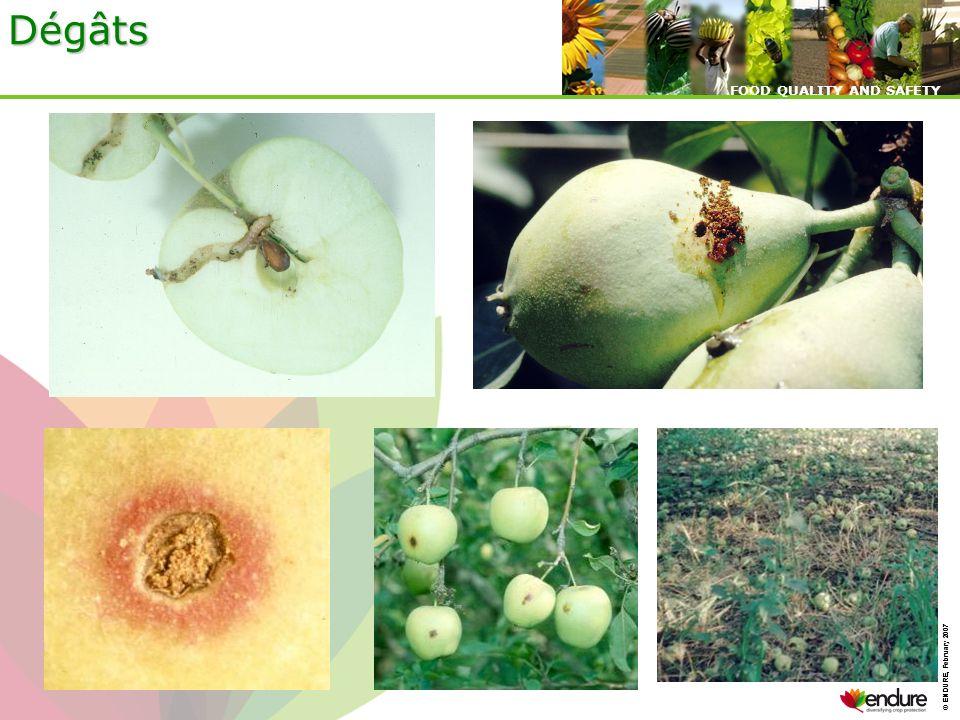 Dégâts Les dégâts sont visible sur les fruits par la présence des excréments de la larve.