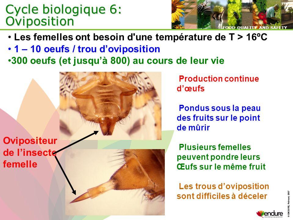 Cycle biologique 6: Oviposition