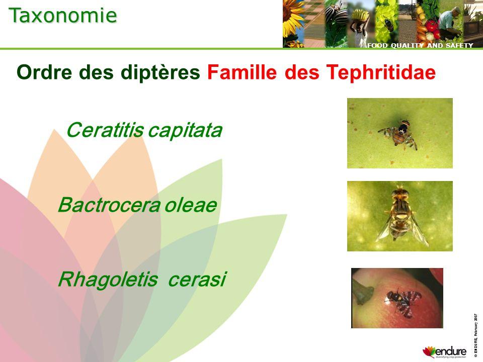 Ordre des diptères Famille des Tephritidae Ceratitis capitata