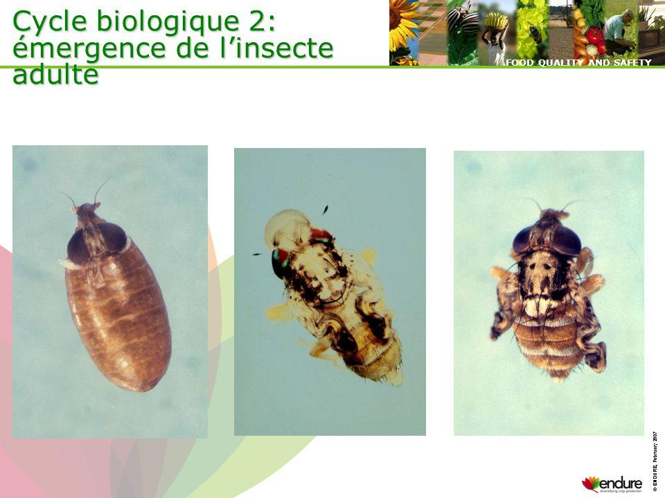 Cycle biologique 2: émergence de l'insecte adulte