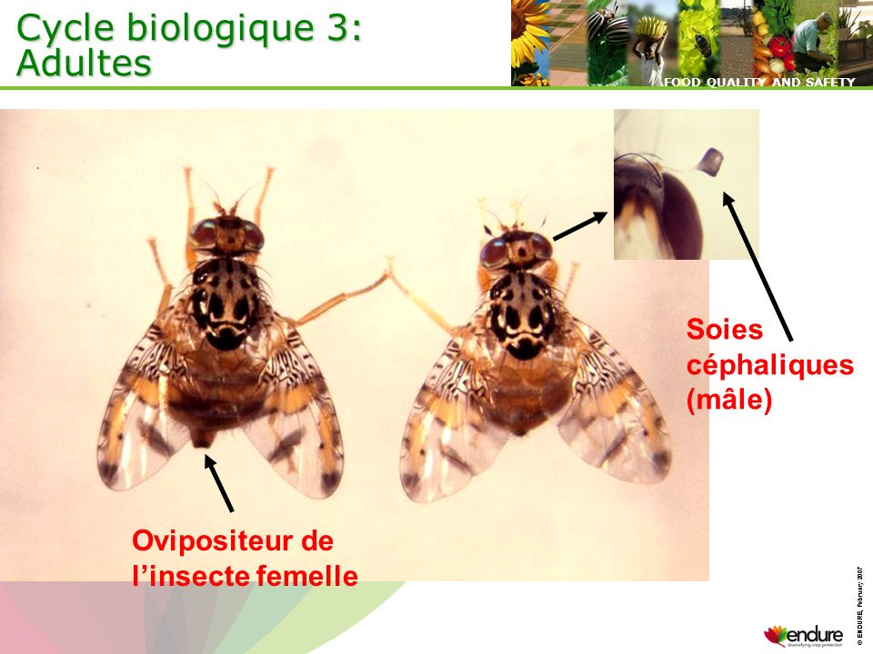 Cycle biologique 3: Adultes