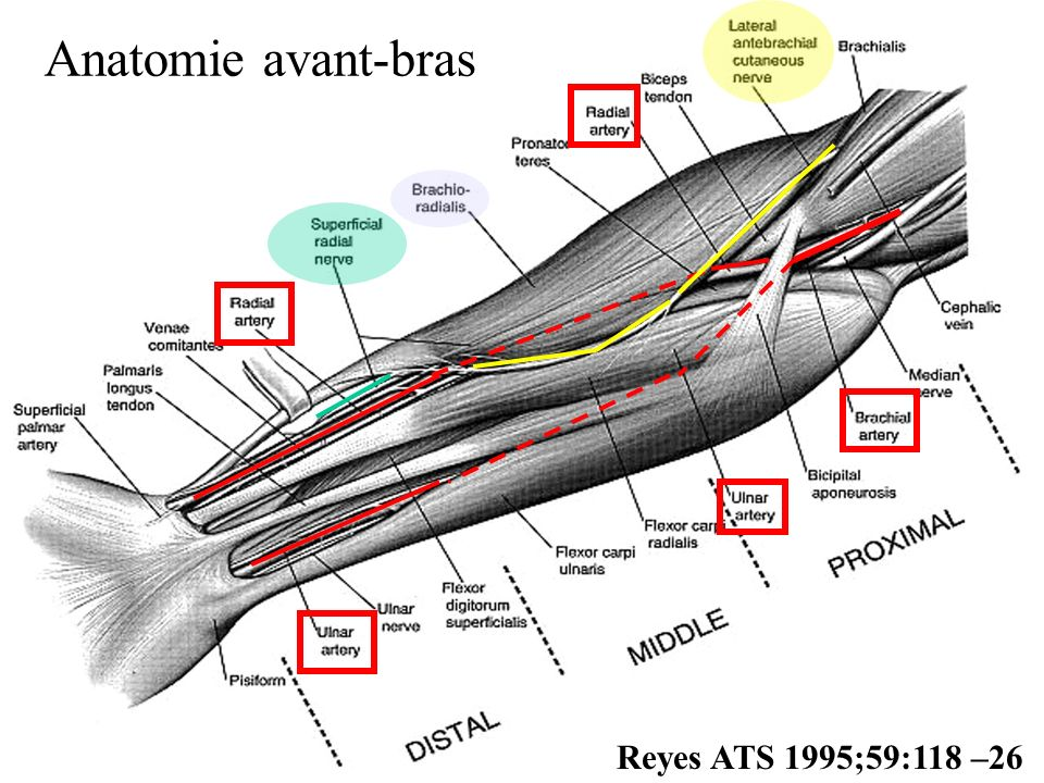 Anatomie avant-bras Reyes ATS 1995;59:118 –26