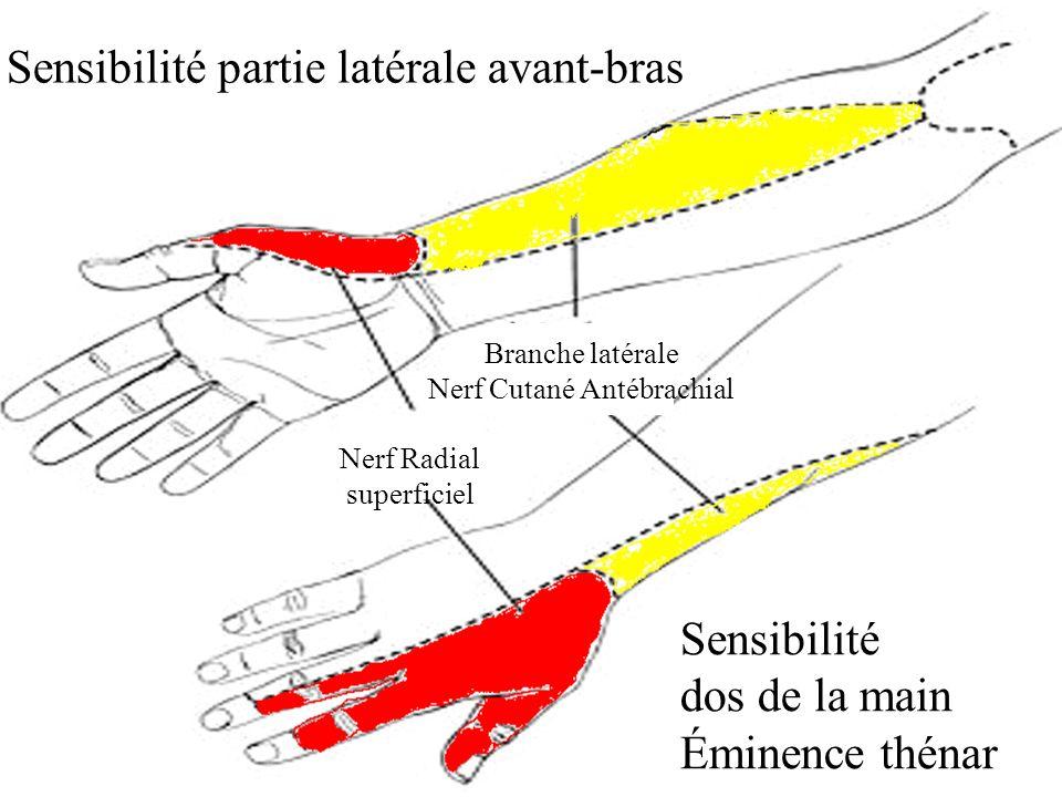 Sensibilité partie latérale avant-bras