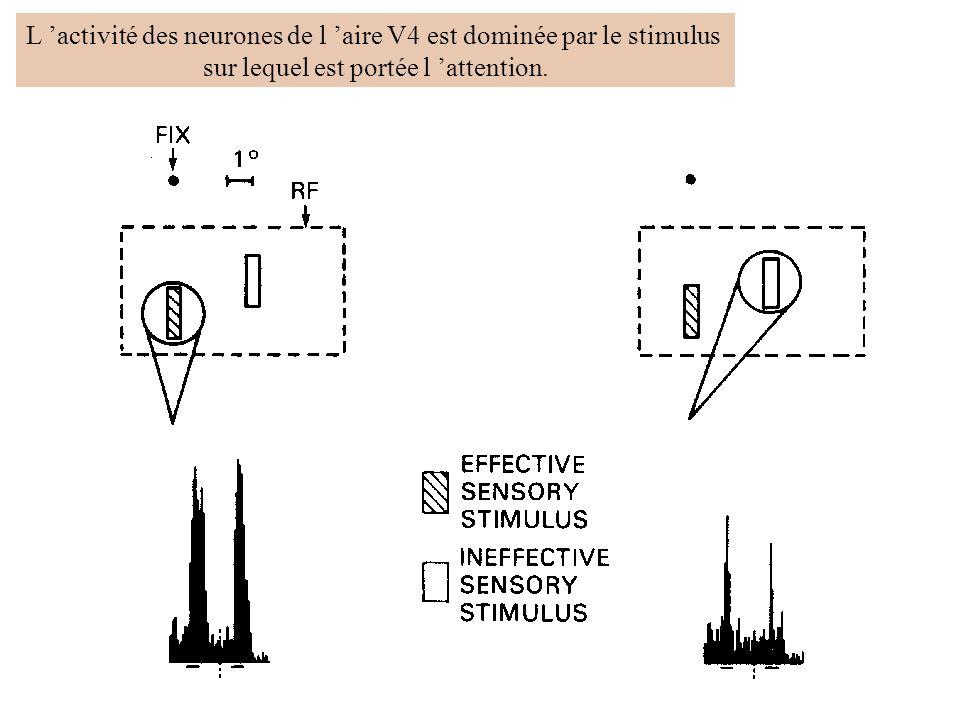 L 'activité des neurones de l 'aire V4 est dominée par le stimulus