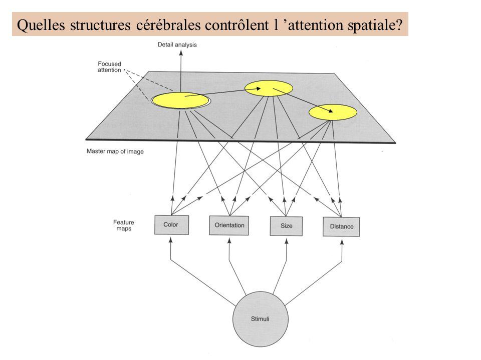 Quelles structures cérébrales contrôlent l 'attention spatiale