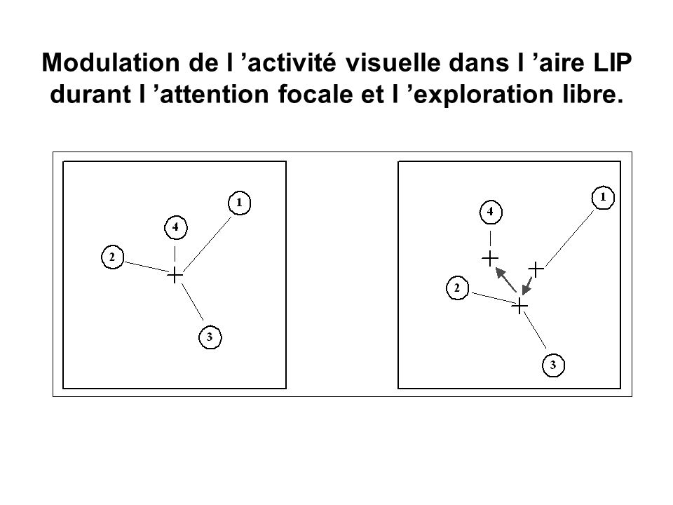 Modulation de l 'activité visuelle dans l 'aire LIP durant l 'attention focale et l 'exploration libre.