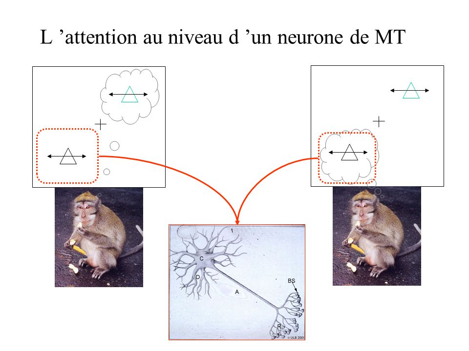 L 'attention au niveau d 'un neurone de MT