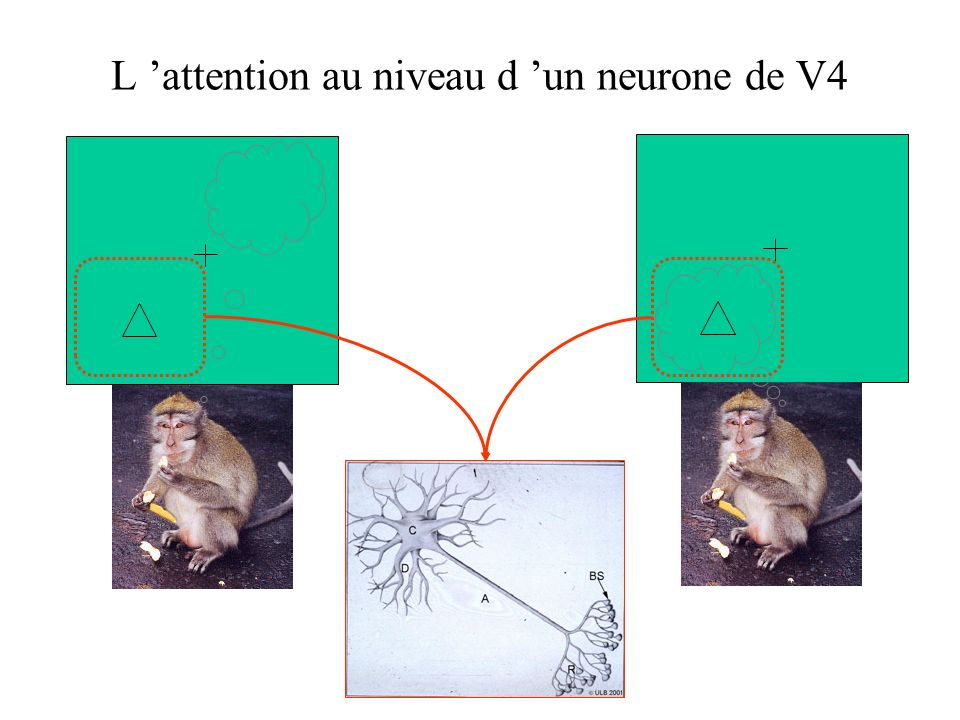 L 'attention au niveau d 'un neurone de V4