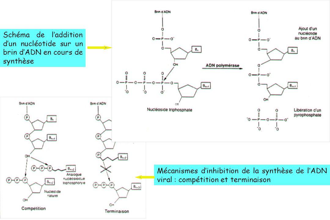 OHSchéma de l'addition d'un nucléotide sur un brin d'ADN en cours de synthèse.