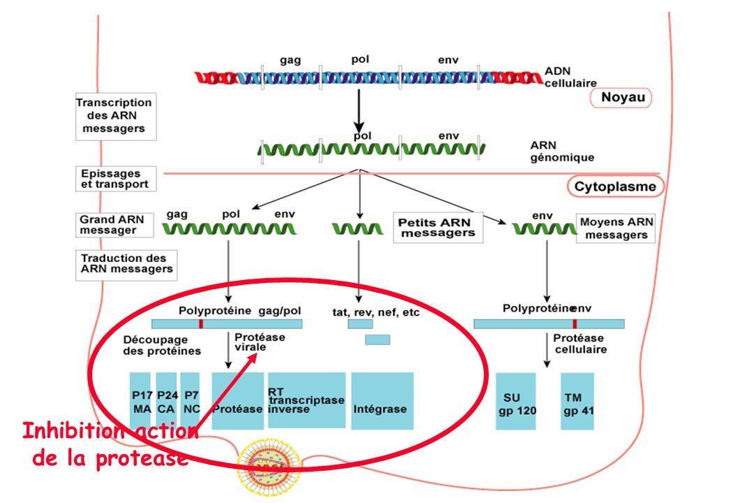 Inhibition action de la protease