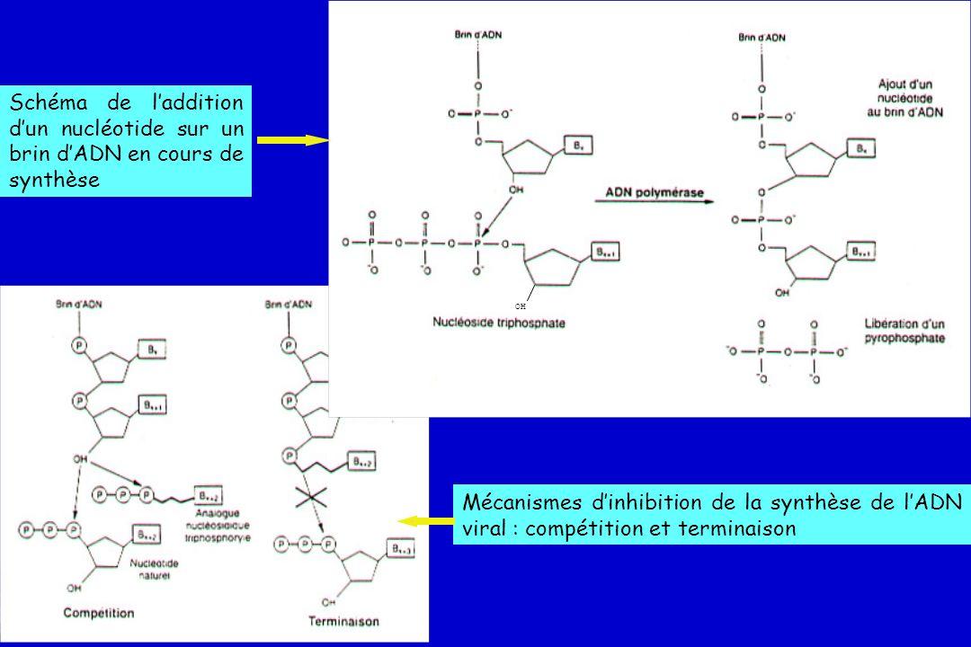 OH Schéma de l'addition d'un nucléotide sur un brin d'ADN en cours de synthèse.