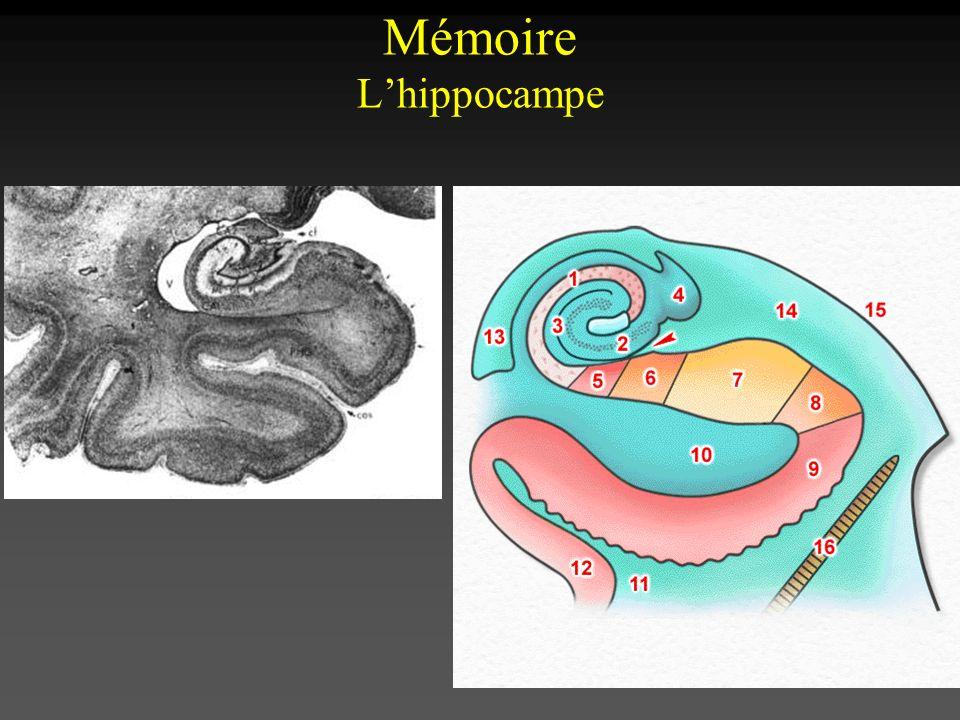 Mémoire L'hippocampe