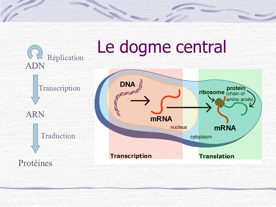 Le dogme central ADN ARN Protéines Réplication Transcription