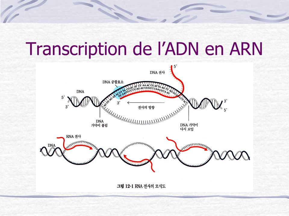 Transcription de l'ADN en ARN