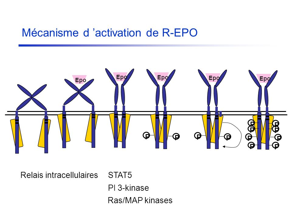 Mécanisme d 'activation de R-EPO