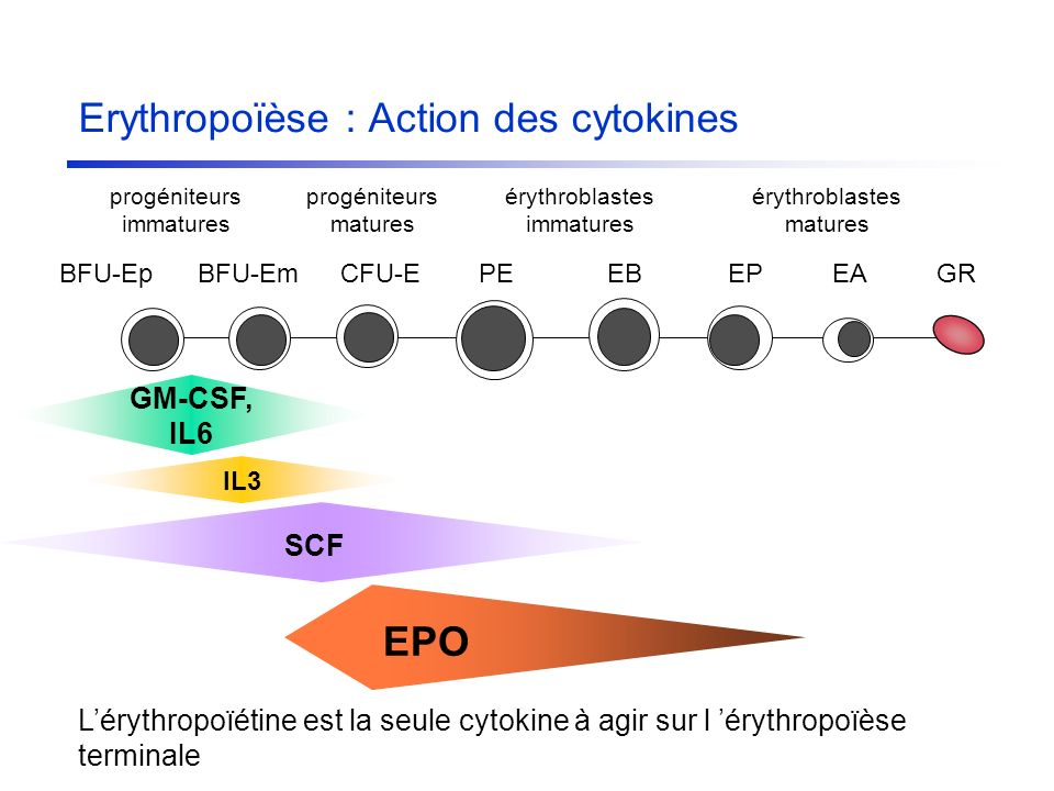 Erythropoïèse : Action des cytokines