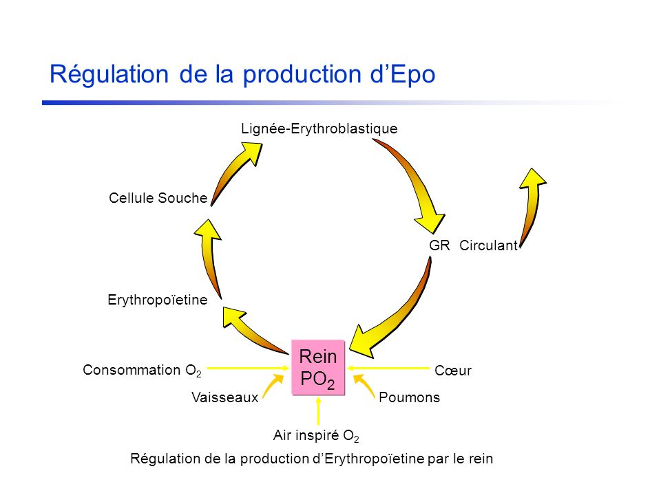 Régulation de la production d'Epo
