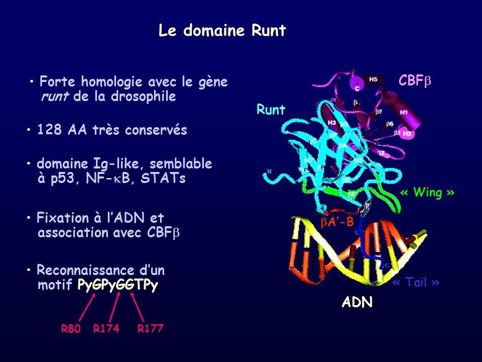 Le domaine Runt CBF Forte homologie avec le gène