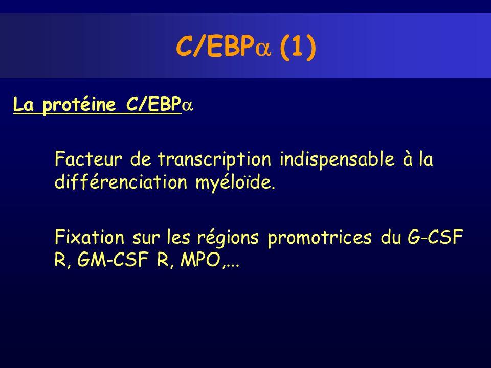 C/EBPa (1) La protéine C/EBPa