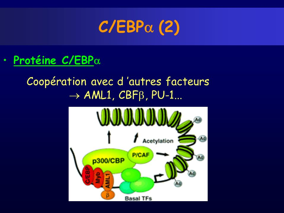 C/EBPa (2) Protéine C/EBPa Coopération avec d 'autres facteurs