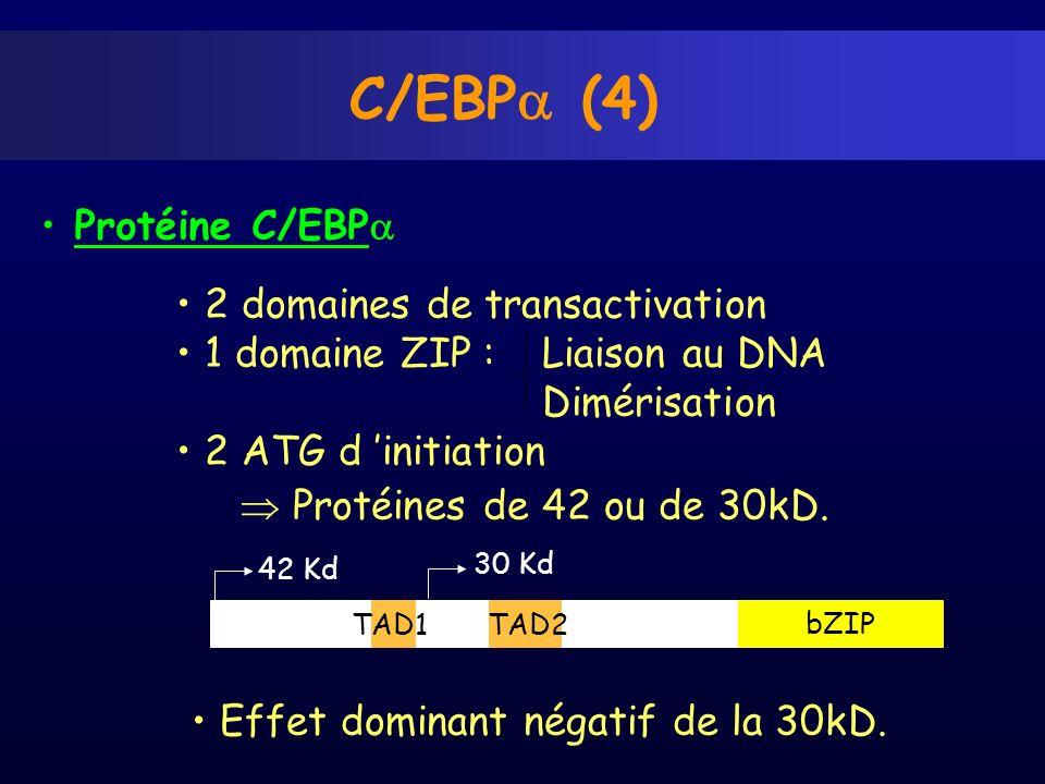 C/EBPa (4) Protéine C/EBPa 2 domaines de transactivation