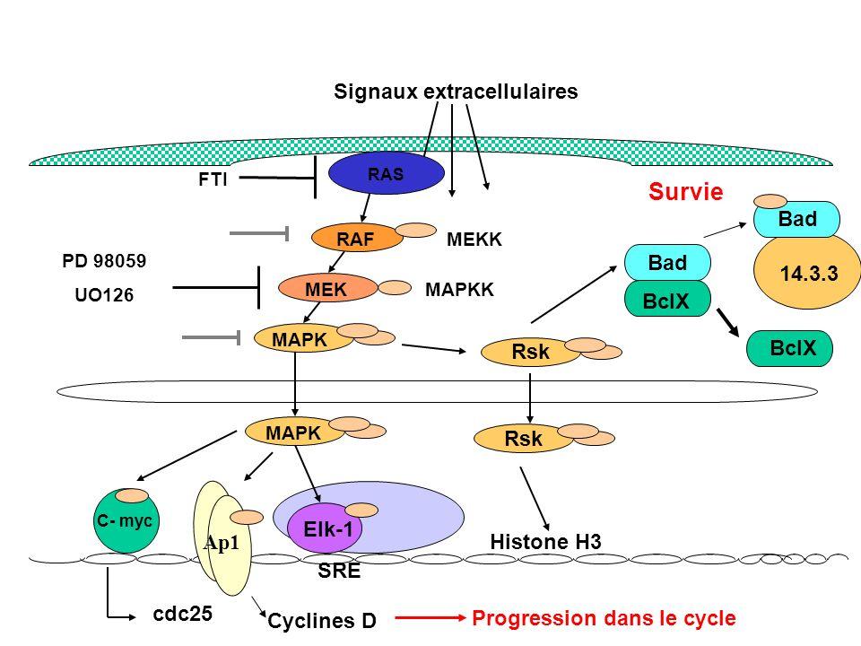 Signaux extracellulaires Progression dans le cycle