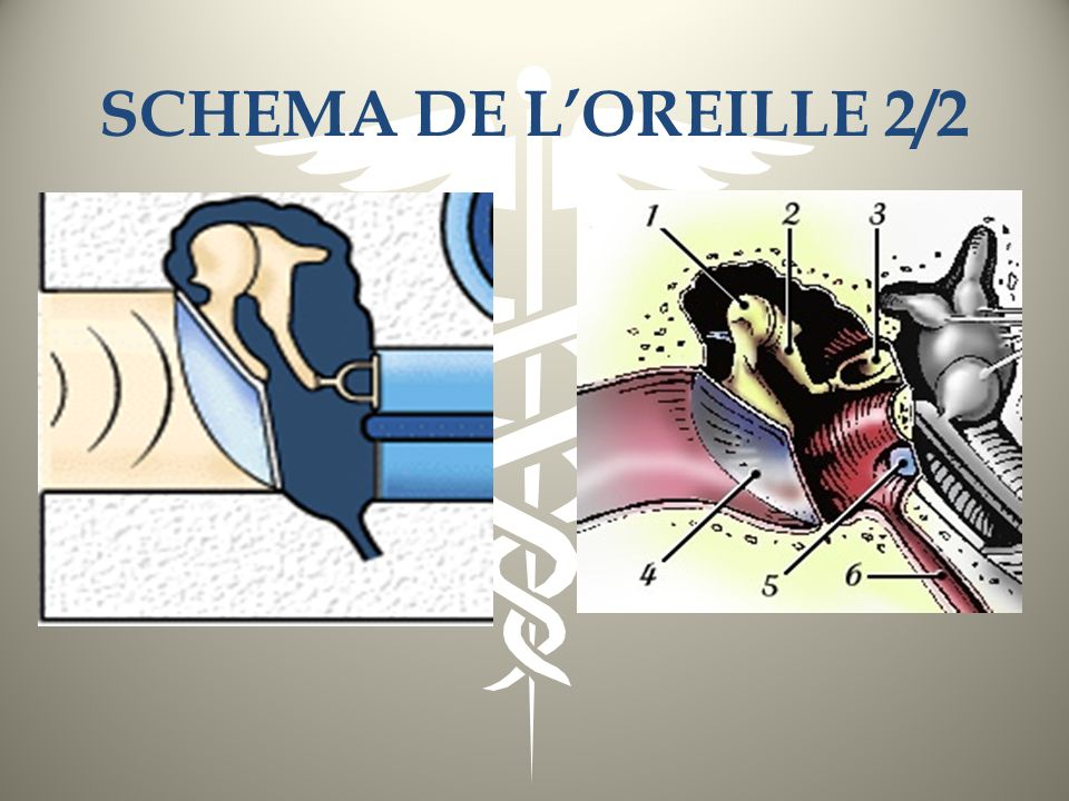 SCHEMA DE L'OREILLE 2/2