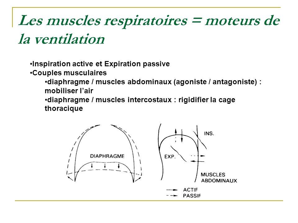 Les muscles respiratoires = moteurs de la ventilation