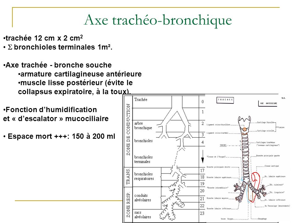 Axe trachéo-bronchique