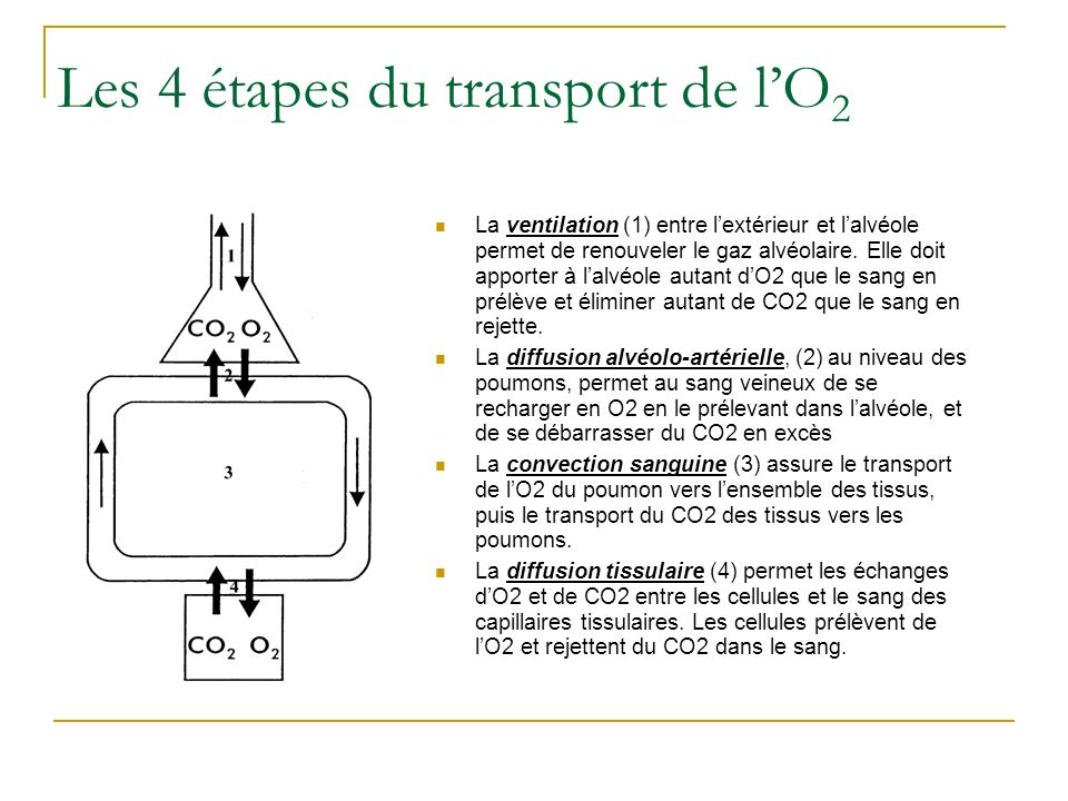 Les 4 étapes du transport de l'O2