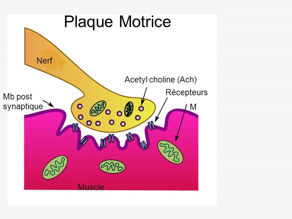 Plaque Motrice Nerf Acetyl choline (Ach) Récepteurs Mb post synaptique