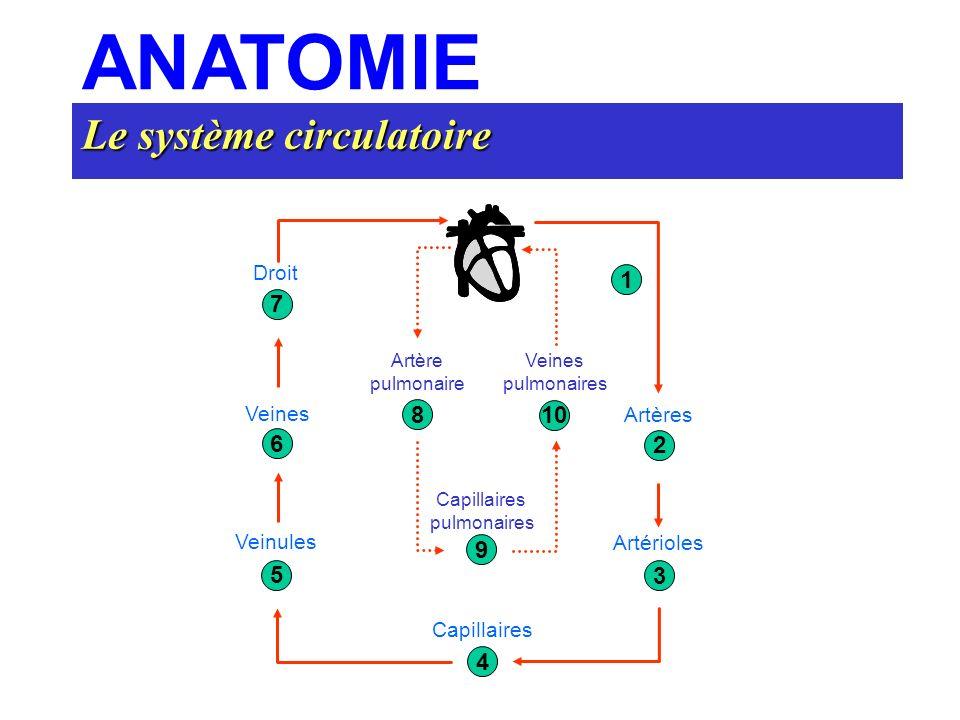 ANATOMIE Le système circulatoire 7 6 5 4 3 2 1 8 9 10 Droit Artères